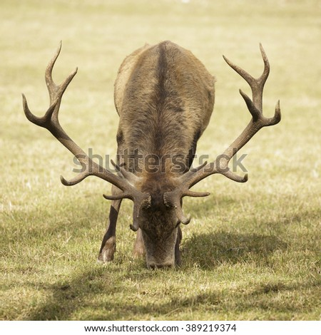 Adult male deer - stock photo