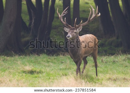 adult male deer in rutting season