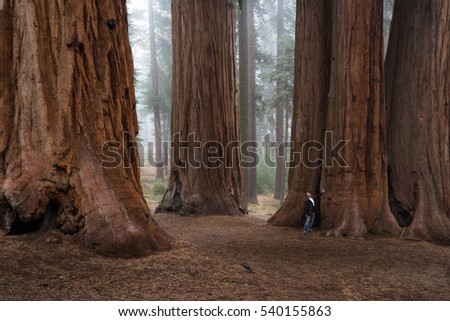 adult male enjoying nature in a giant sequoia forest with fog in the background