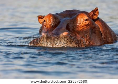 adult male Hippopotamus, Hippopotamus amphibius in the River Chobe, Chobe National Park, Botswana - stock photo