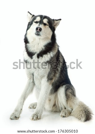 adult male husky in the studio on a white background