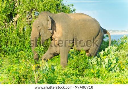 picture was taken in the Yala National Park ( Sri Lanka ). - stock