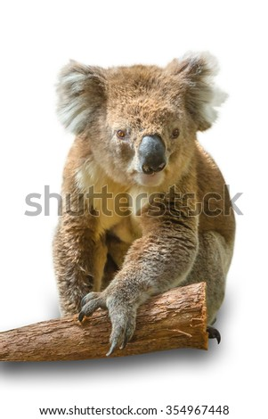 Adult male koala, Phascolarctos cinereus, typical wild animal that lives in the forests of eucalyptus mainly in Victoria in Australia, sitting in front of white isolated background.