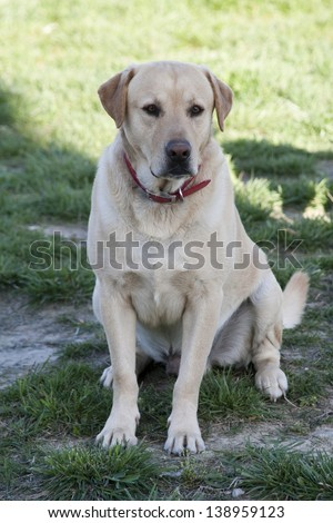 Adult Male Labrador Retriever Dog
