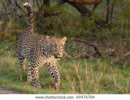 adult male leopard walking in grass in Sabi Sand nature reserve, South Africa - stock photo