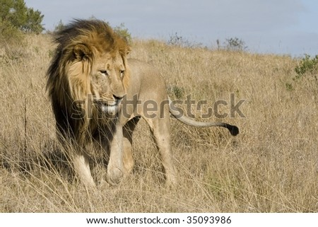 Adult male lion in the South African bushveld