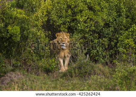 Adult male lion is standing in the middle of shrubbery. He is looking to forward. He has a mane with gold brown color. He is looking angry, strong and powerful. It is day time.