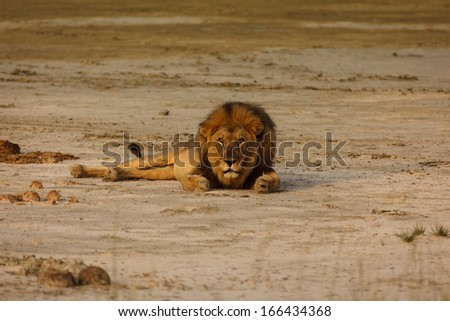 Adult male lion lays alone on sandy desert floor in Namibian desert looking at the photographer.