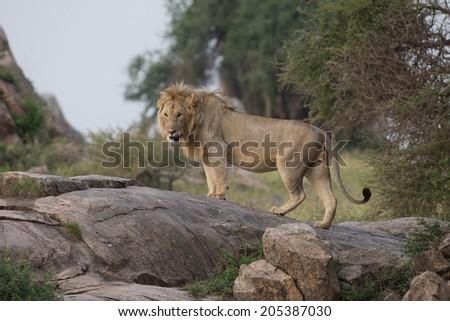 Adult Male Lion on Kojpi in Serengeti National Park - stock photo