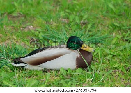 Adult male mallard wild duck or Anas platyrhynchos is resting on green grass - stock photo