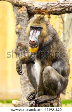 Adult male mandrill - stock photo