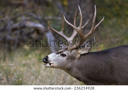 adult male mule deer with a nice rack in Zion NP Utah