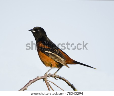 Adult male orchard oriole in a tree - stock photo