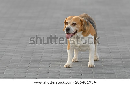 Adult male pure breed beagle dog in a park - stock photo