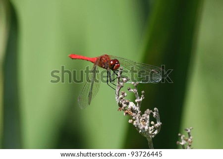 adult male ruddy darter dragonfly Sympetrum sanguineum - stock photo