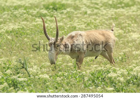 adult male saiga graizes in the steppe
