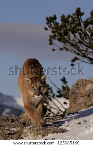 Adult Mountain Lion on mountain top - Puma - Cougar - stock photo