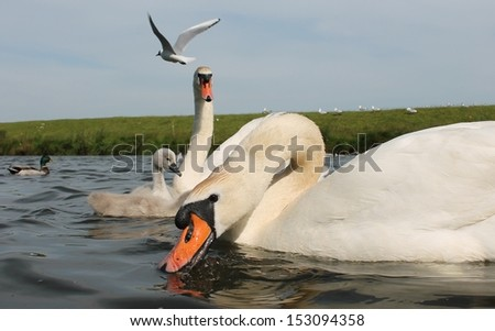 adult mute swan on river