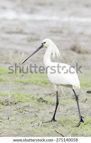 adult of common spoonbill in natural habitat / Platalea leucorodia - stock photo