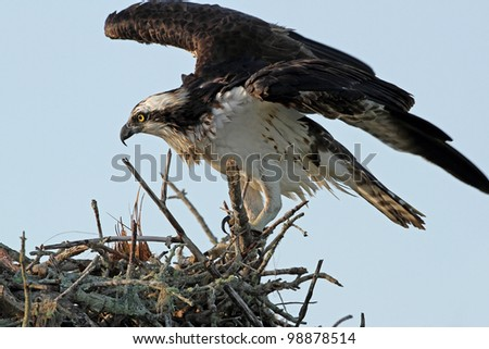 Adult Osprey (Pandion haliaetus) at Nest - Cape Coral, Florida - stock photo