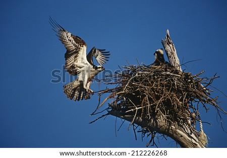 Adult Osprey (Pandion haliaetus) returning to nest with nestling - stock photo