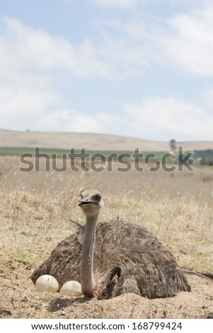 Adult ostrich breeding on eggs in the field - stock photo