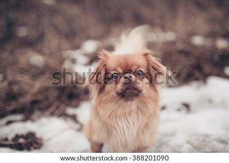 Adult pekingese dog posing on a nature winter background walking outdoors - stock photo