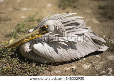 Adult pelican resting on the lake shore, sunbathing in the summer sun