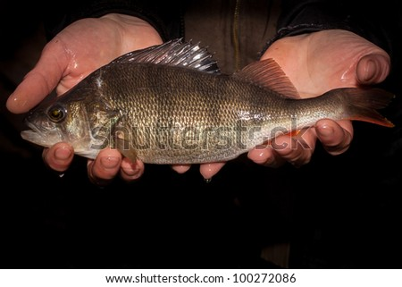 adult perch in the hands with dark background