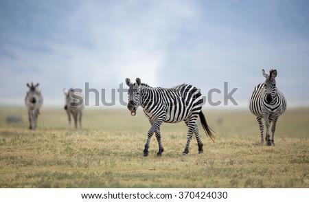 Adult Plains Zebra in the Ngorongoro Crater, Tanzania - stock photo