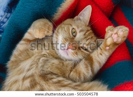 Adult polydactyl orange tabby cat belly up looking at camera on green red blanket