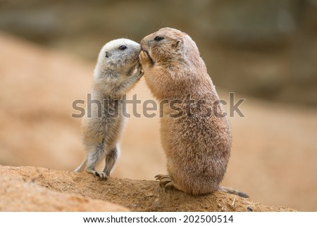 Adult prairie dog (genus cynomys)  and a baby  sharing their food - stock photo