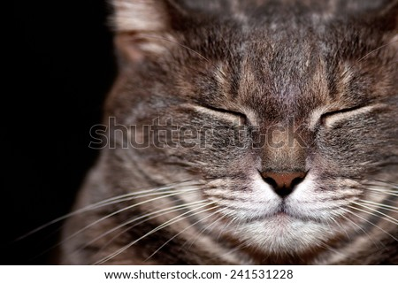 Adult purebred gray cat sleeping - stock photo