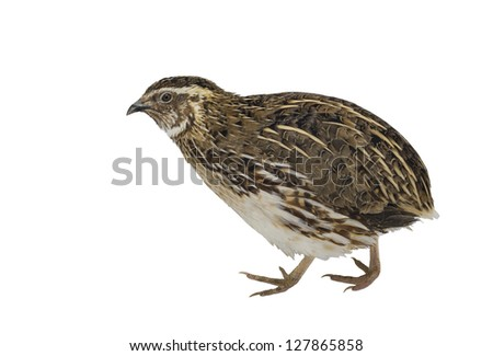 Adult quail isolated on white background
