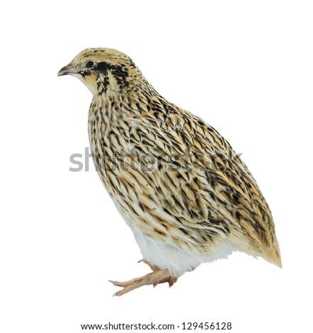 Adult quail of yellow strain on white background - stock photo