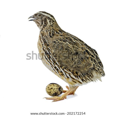 Adult quail with egg isolated on white background  - stock photo