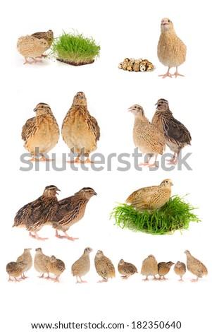 adult quails isolated on white background - stock photo