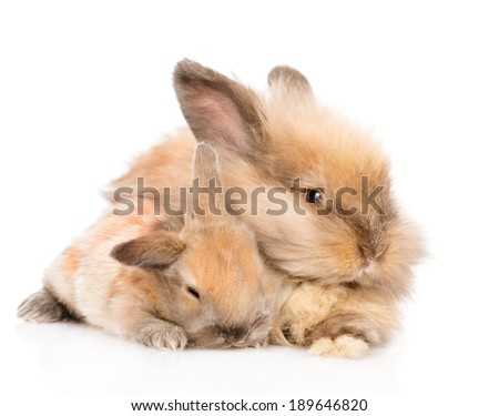 adult  rabbit hugging a newborn bunny. isolated on white background - stock photo