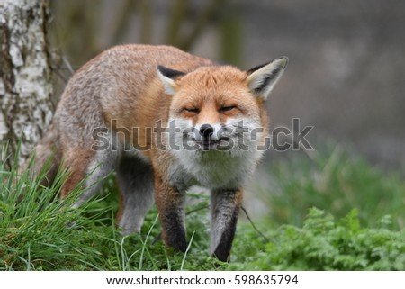 Adult Red British fox