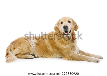 Adult retriever dog lying on floor. Isolated over white background. Copy space. - stock photo
