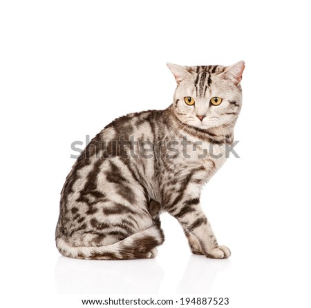 Adult Scottish cat looking away. isolated on white background