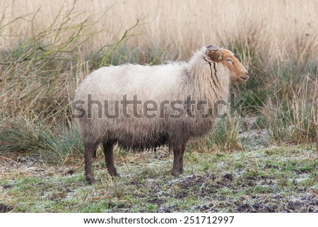 Adult sheep in the typical dutch landscape
