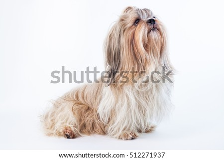 Adult shih tzu dog on bright white background