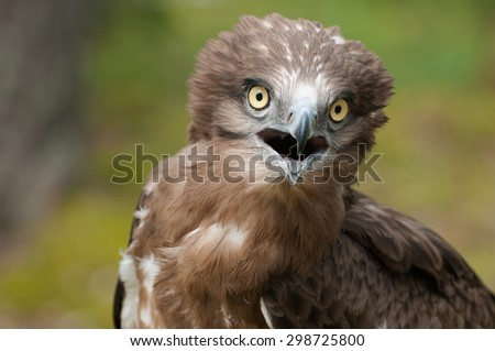 Adult Short-toed snake eagle portrait - stock photo