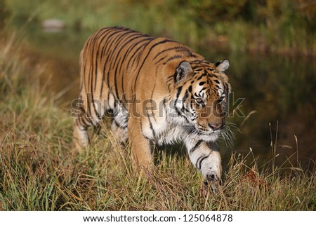 Adult Siberian Tiger - stock photo