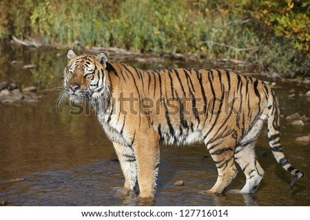 Adult Siberian Tiger in cold mountain stream - stock photo