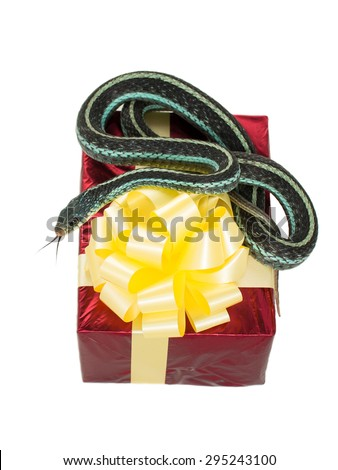 Adult snake with his tongue hanging out is on the red gift box with a yellow bow on a white background - stock photo