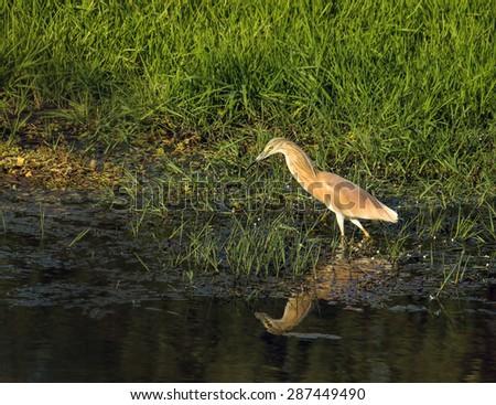 Adult Squacco Heron fishing in evening sun - stock photo