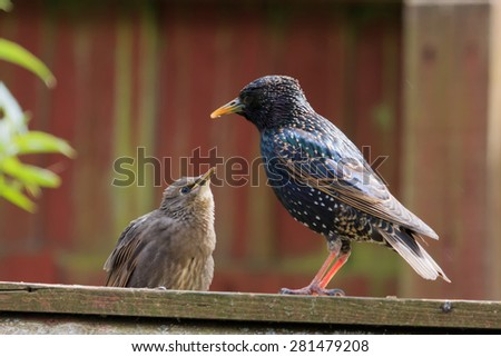 Adult Starling perched with juvenile in sunlit UK garden - stock photo