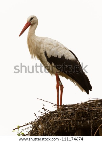 Adult stork in its natural habitat, on a nest (Holland)